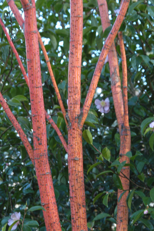 Acer jardin_1359