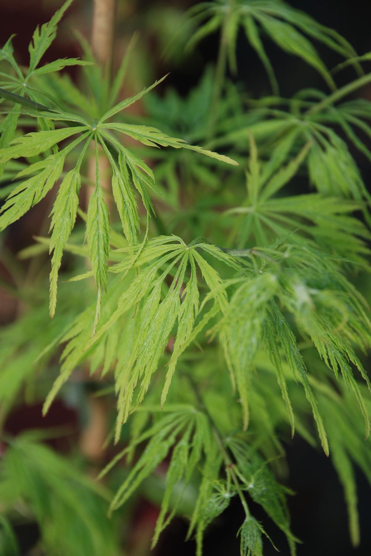 Acer palmatum Dissectum DSC_0102