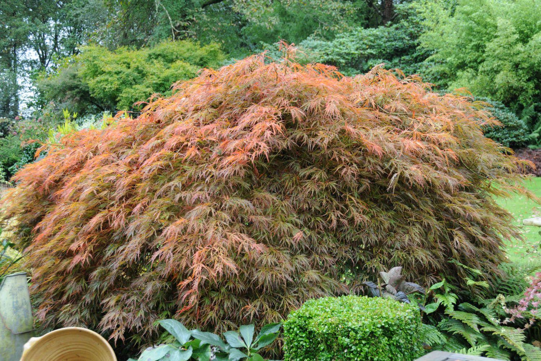 Erable Du Japon Petit tout sur l'Érable du japon : où, quand et comment le planter