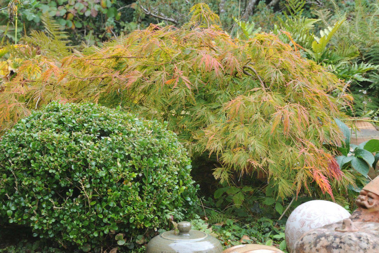 Erable en jardin DSC_2776