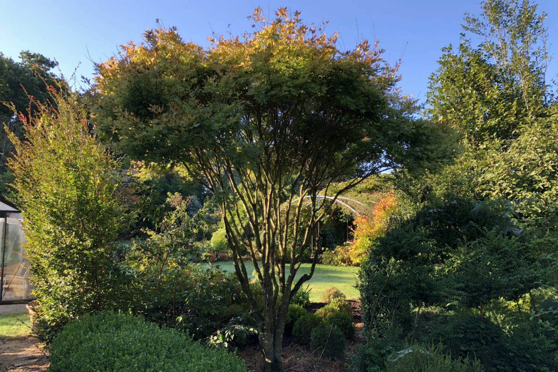 Erable en jardin IMG_0501