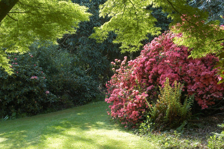 AZALEE Blaauw'pink jardin (8)