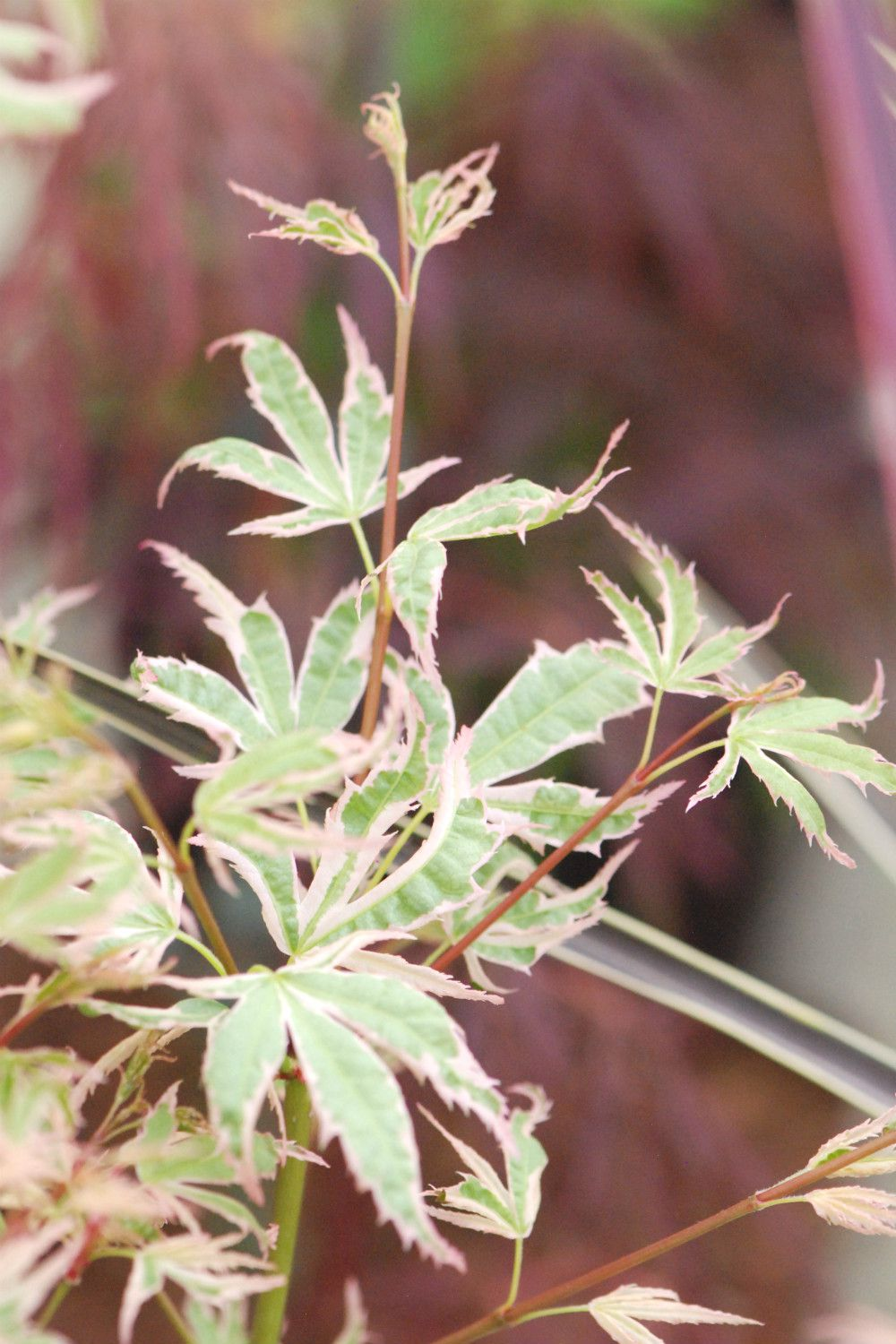 ACER palmatum Butterfly (2)