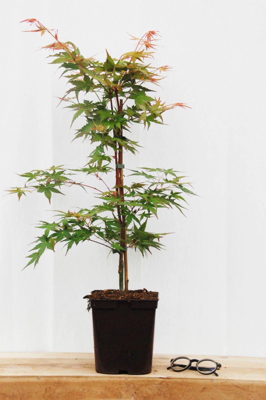 ACER palmatum Peve Chameleon (3)