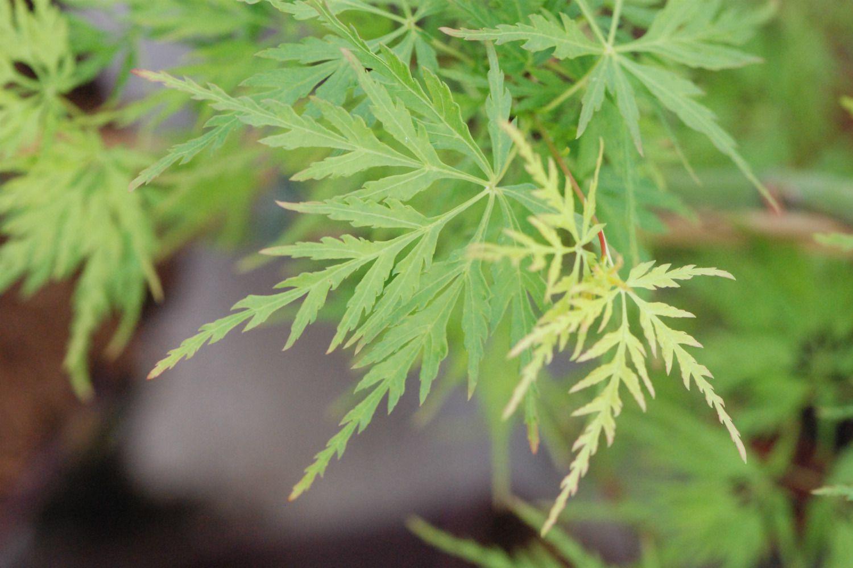 ACER palmatum Seiryu (2)