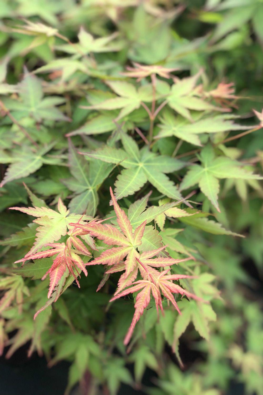 Acer palmatum Peve Chameleon IMG_2887