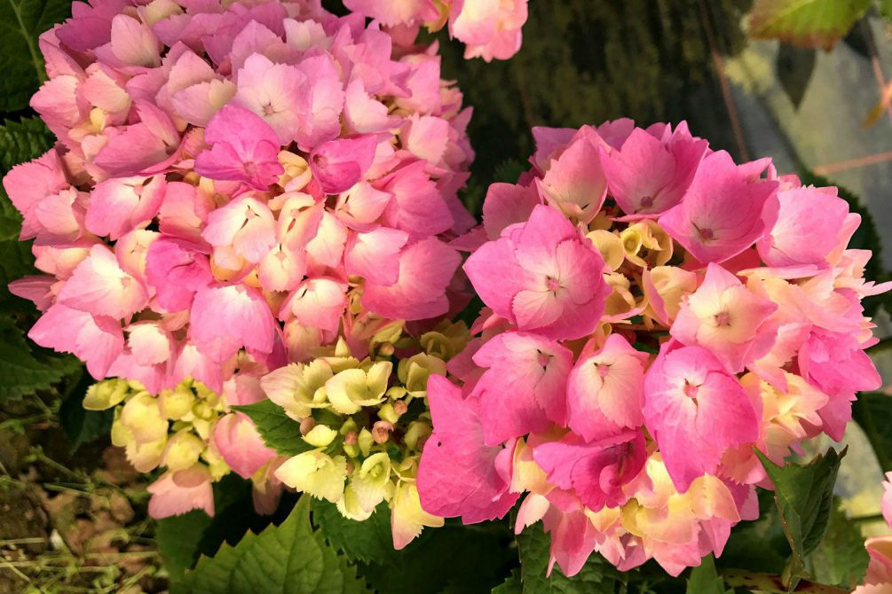 Hortensia rembrandt Dolce Chic 2