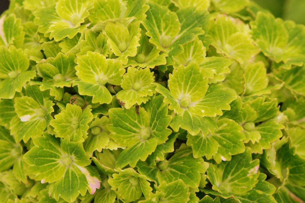 Hortensia rembrandt Vibrant Verde 2