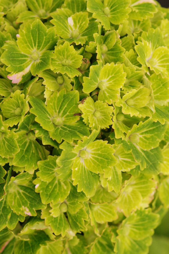 Hortensia rembrandt Vibrant Verde