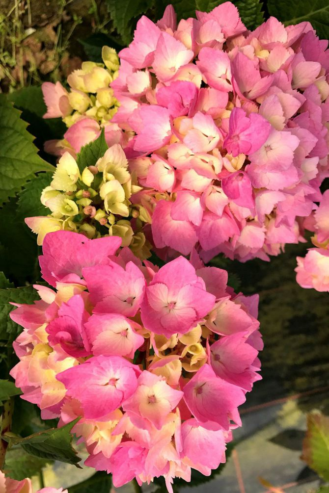 Hortensia_Dolce_chic_IMG_4276