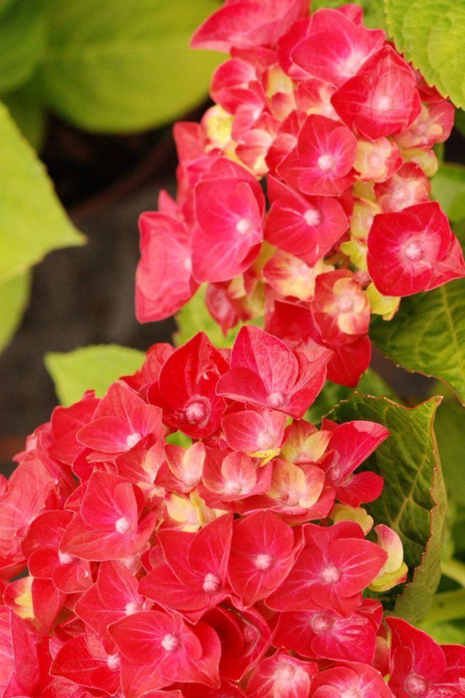 Hydrangea Rosso Glory DSC_0813