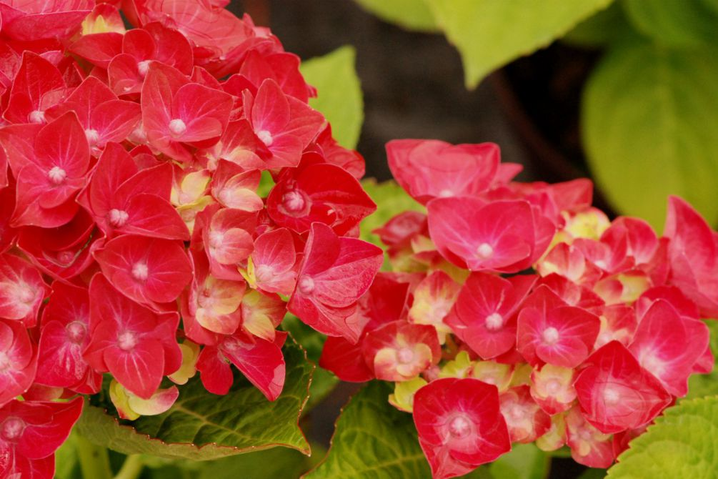 Hydrangea rembrandt Rosso Glory DSC_0813
