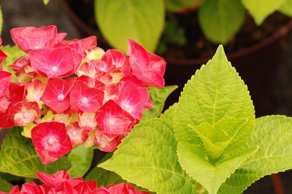 Hydrangea rembrandt Rosso Glory DSC_0815