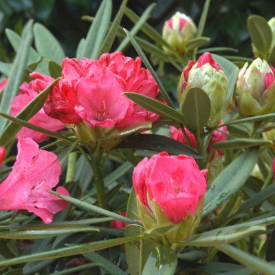 Tout sur les Rhododendrons : où, quand et comment les planter ? origines, histoire, différents types…