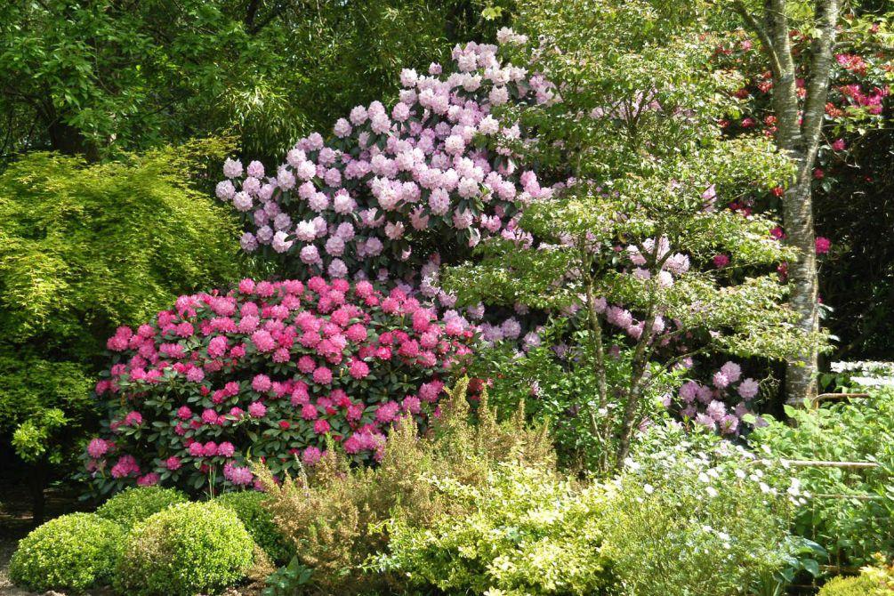 Rhododendron en jardin DSC_0939