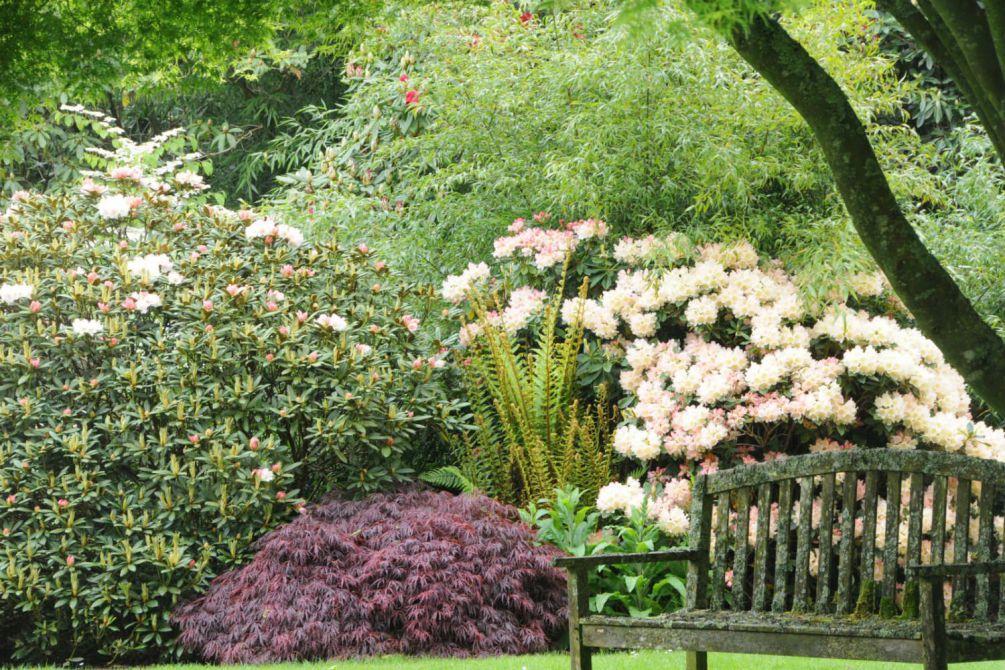 Rhododendron en jardin DSC_2267