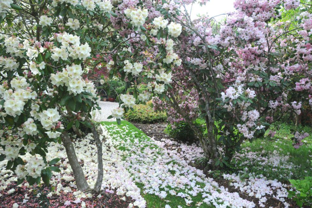 Rhododendron en jardin DSC_9658