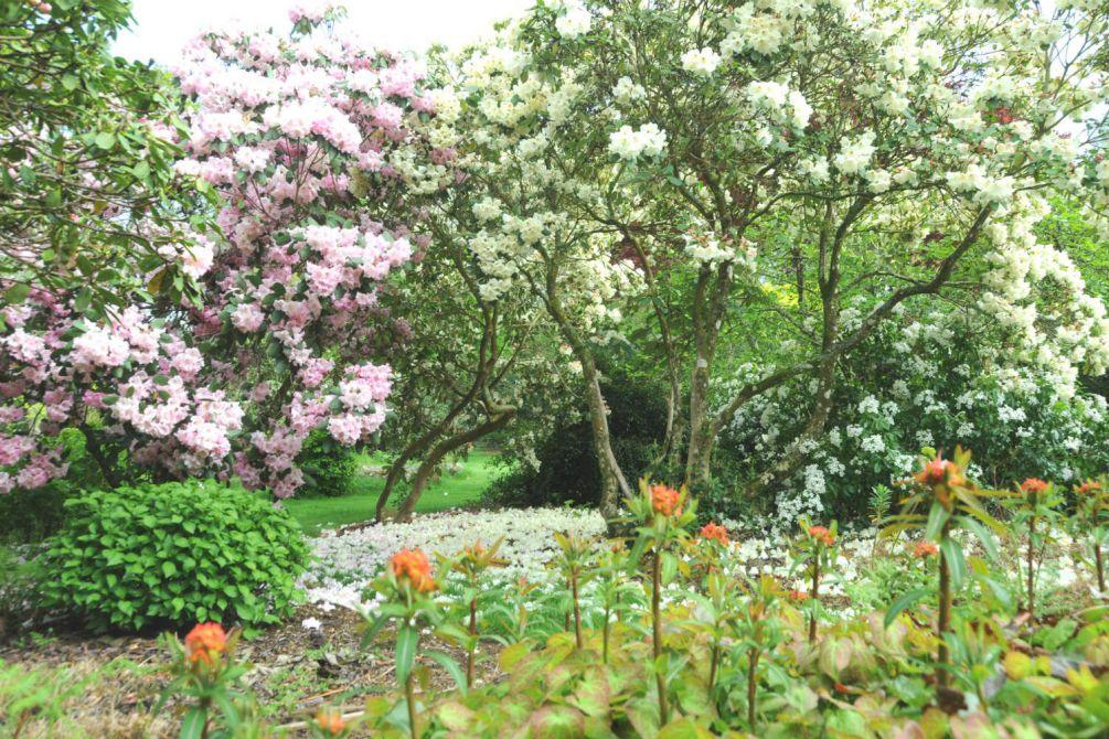 Rhododendron en jardin DSC_9662