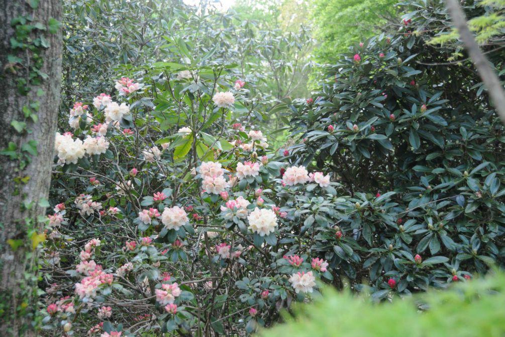 Rhododendron en jardin DSC_9692
