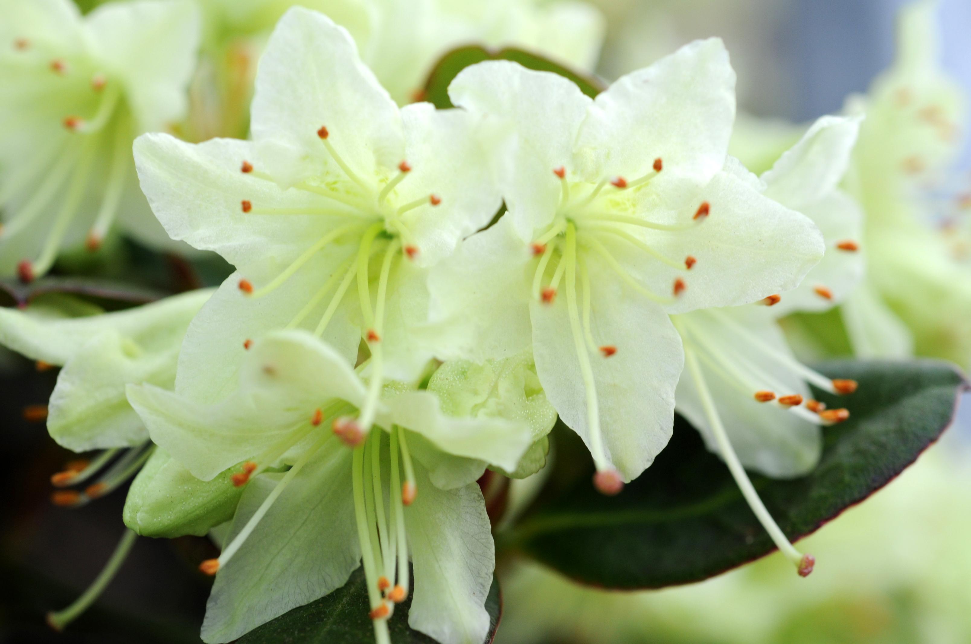 Rhododendron_shamrock_0451