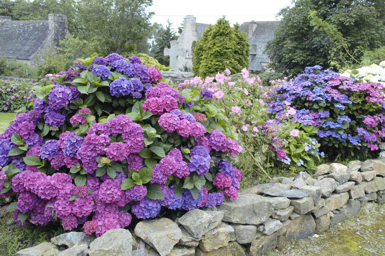Hortensia en jardin AD_DSC5077