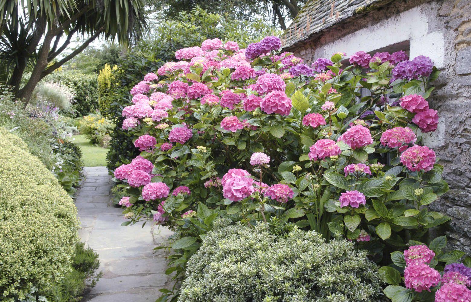 Hortensia en jardin Kerboulic AD5250