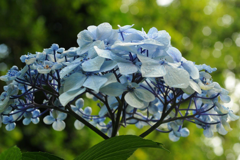 Hortensia fleur bleu DSC_4951