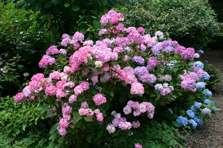 Tout sur les Hortensias : Où, quand, comment les planter ...