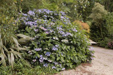 Hydrangea Bleu fleur plate