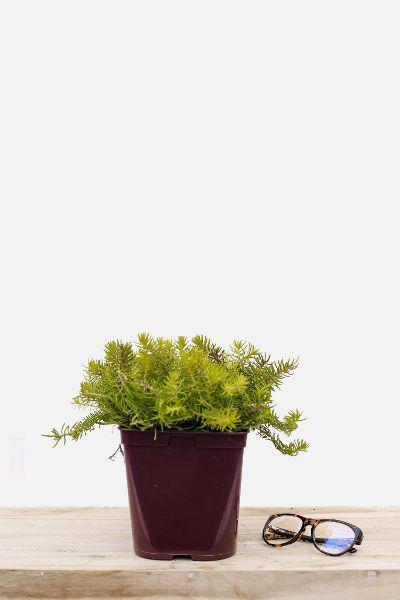 Sedum-Yellow-Cushion-pot-de-3-litres-imfg-mars-18-43