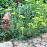 Le Sedum, une plante pour terrain sec