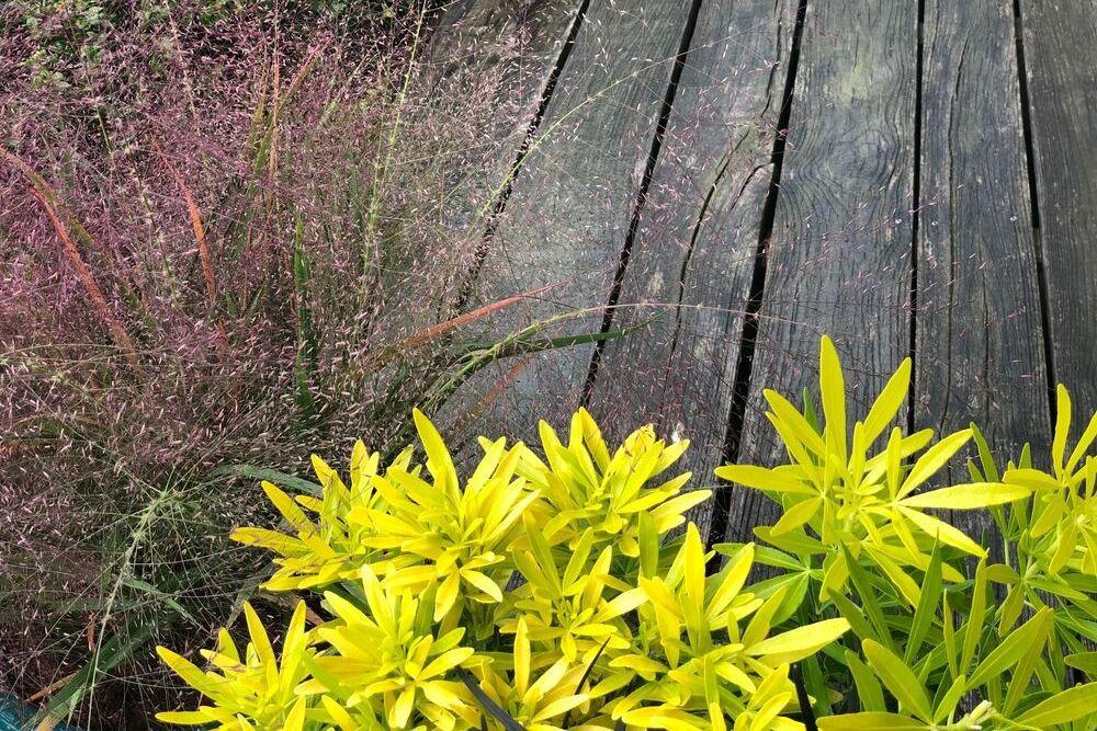 Feuillage de CHOISYA Gold Star et fleur d'Eragrostis - IMFG