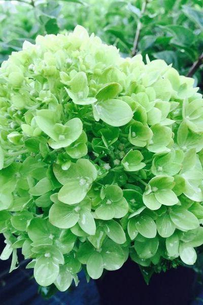 HYDRANGEA Little Lime en début de floraison