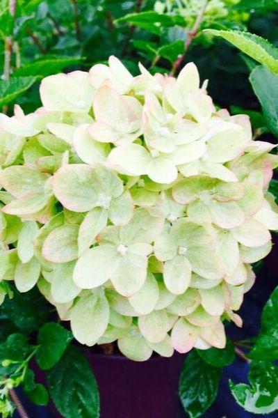 HYDRANGEA Little Lime en fleur (1)