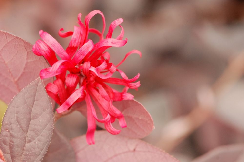 LOROPETALUM 'Ever Red' - IMFG