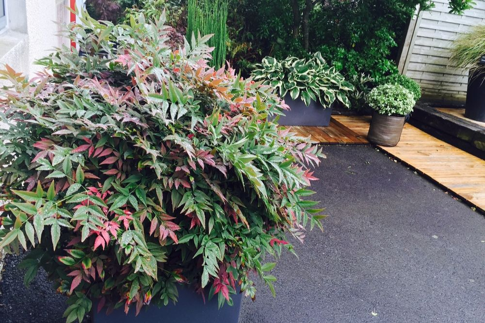 Nandina Obssessed Seika en pot - IMFG