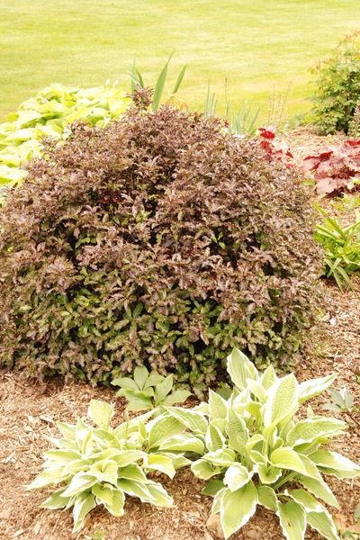 PITTOSPORUM 'Tom Thumb' en jardin