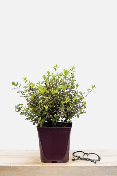 Pittosporum_Tom_Thumb_pot_de_3_litres