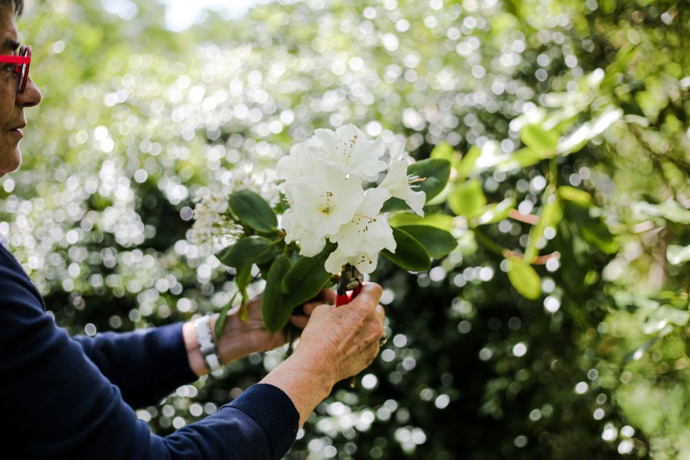 Fleur d'Azalée blanche