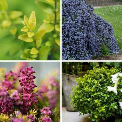 Quels sont les 10 meilleurs arbustes couvre-sol ?