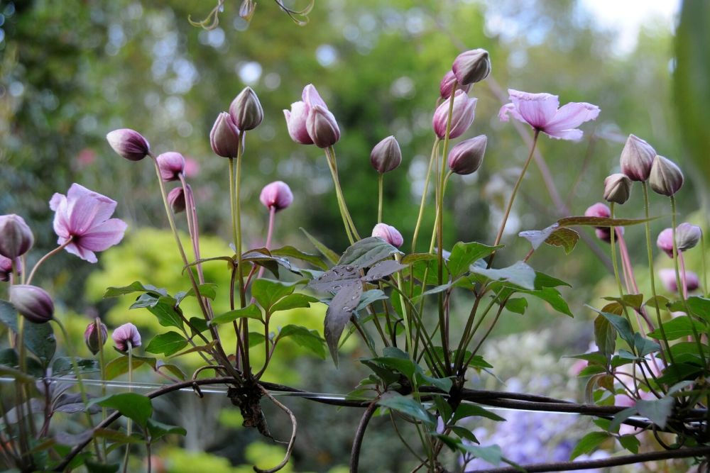 Clématite en jardin (1)