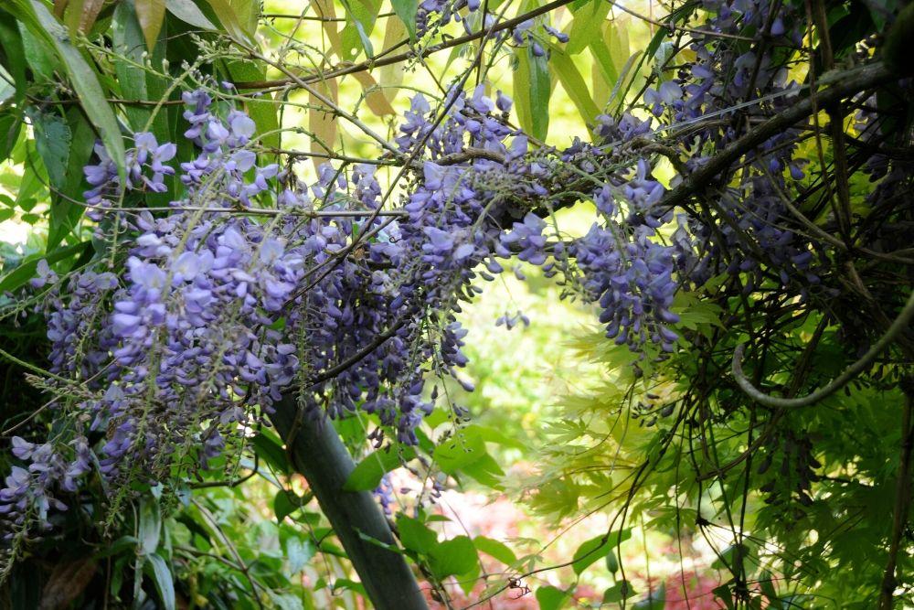 Glycine en jardin